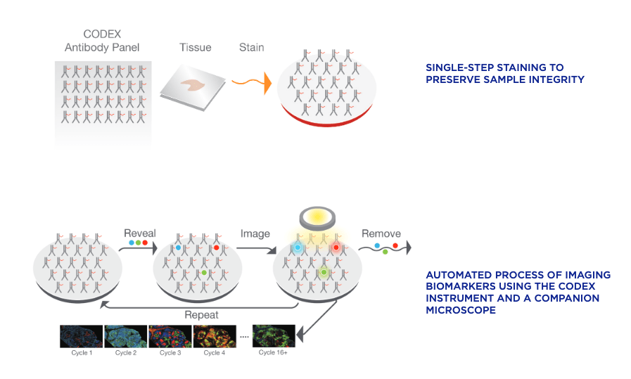 Graphic showing the workflow for CODEX imaging of tissue, consisting of staining with a panel and cyclic imaging.