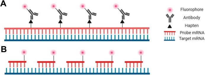 Graphic showing hybridization probe designs for RNA-FISH microscopy.