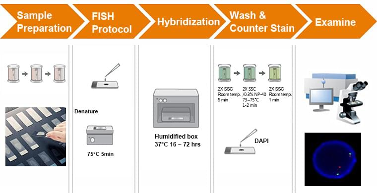 Graphic showing basic steps in RNA-FISH: sample fixation and permeabilization, probe hybridization, washing, and microscopy imaging analysis.